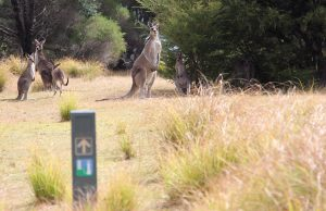 Kangaroos, Light to Light Walk