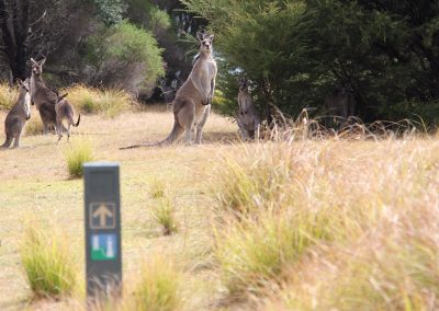 Kangaroos, Light to Light Walk