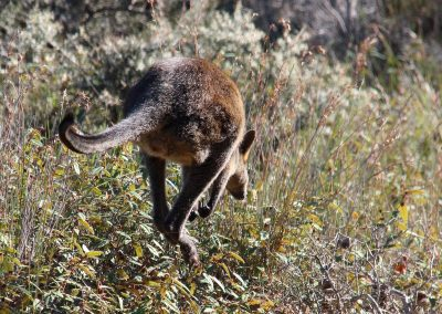 Little swamp wallaby