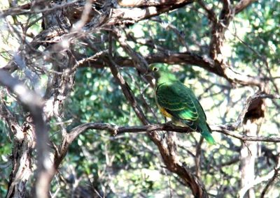 A Rose-Crowned Fruit-Dove near Green Cape.