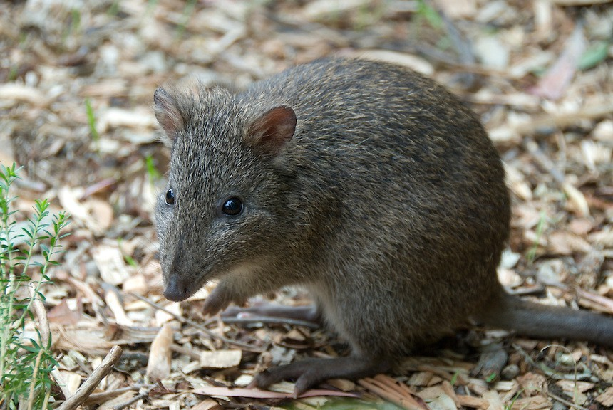 What Makes a Snout Poke? Endangered Bandicoot Pays a Special Visit to Light to Light Camps!