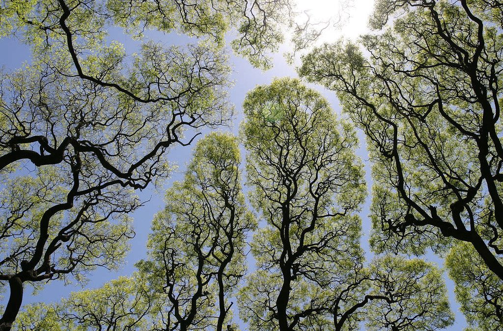 My Modern Met: How 'Crown Shyness' Creates These Remarkable Patterns in Nature