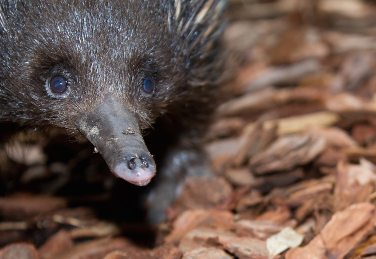 """Atlas Obscura: What You Can Learn About Romance From the Echidna """"Love Train"""""""