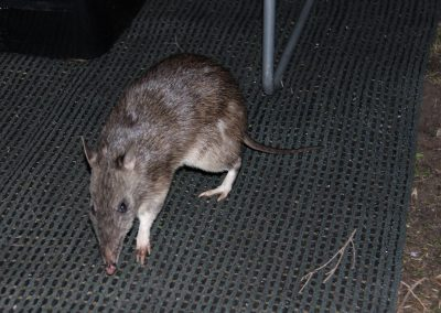 Bandicoot in Light to Light Camp